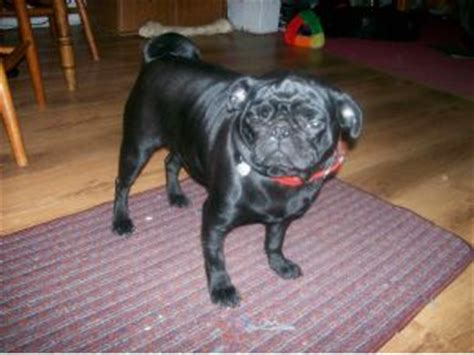 black pugs for sale in ohio pug puppies in ohio