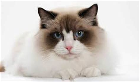 Do Ragdoll Cats Shed by Do Ragdoll Cats Shed Less Than Other Cats All Pet Magazine