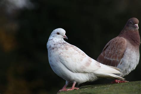dove or pigeon identify this wildlife the rspb community