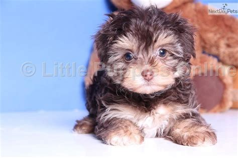 teacup yorkie poo grown the gallery for gt teacup yorkie poo