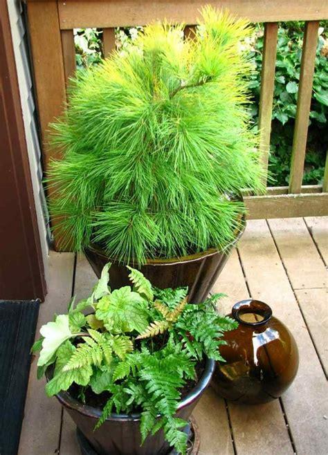 Pflanzen Balkon Winterhart by Die Besten 17 Ideen Zu Winterharte Balkonpflanzen Auf