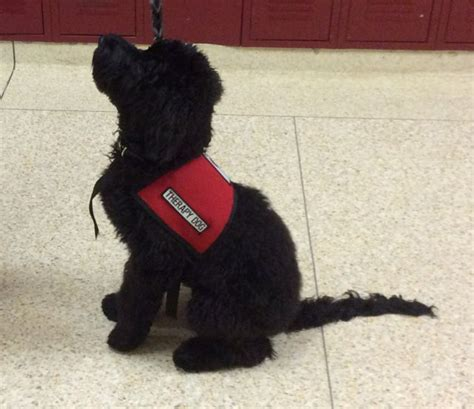 school for service dogs why an australian labradoodle ashford manor labradoodles