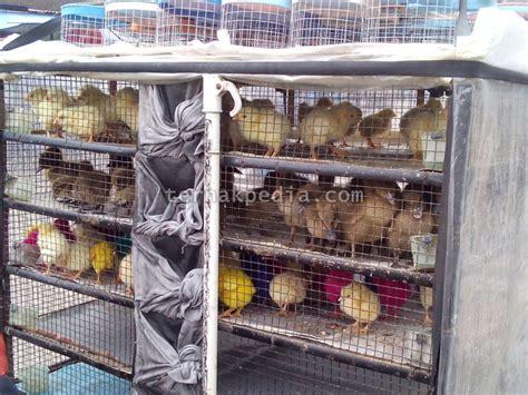 Bibit Bebek Potong harga bibit bebek dan beberapa unggas lainnya ternakpedia