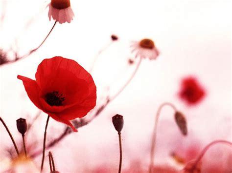 poppy background wallpapers poppy flowers desktop wallpapers