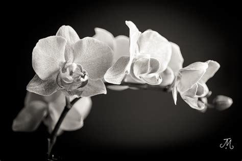 black and white orchid wallpaper black white orchid jamie mastrio flickr