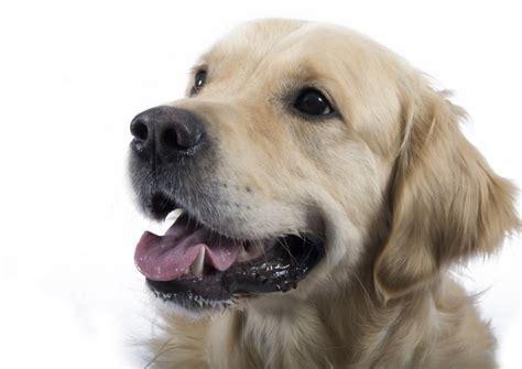 how big do golden retrievers grow breed focus golden retriever dogs for the disabled