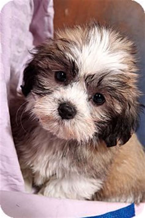 shih tzu st louis shih tzu poodle mix puppies for sale dogs i shih tzu poodle mix