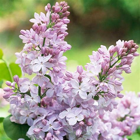 Best Fragrant Flowers For Gardens In The Northeast Fragrant Flowers For Garden