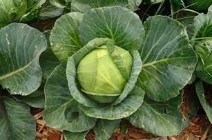 Decorating Rooms Games - how to grow cabbage in your garden