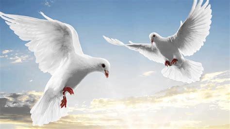 imagenes de palomas blancas en vuelo significado de so 241 ar con palomas youtube