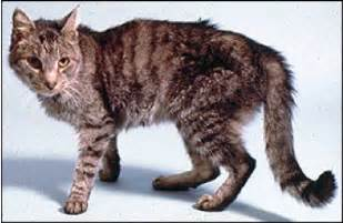 new guidelines for feline hyperthyroidism published