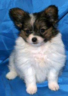 golden retriever chions papillon chihuahua chions babies see my new chion pics as of 03 04 13 tejas t