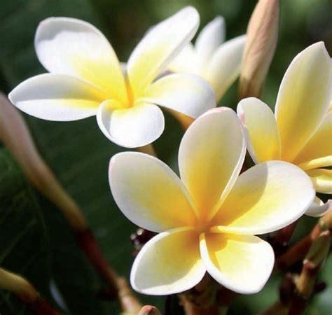 i fiore frangipane fiore piante da giardino fiore frangipane