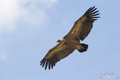 Jaket Dressrosa image of vulture images