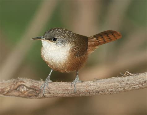 canyon wren song call voice sound