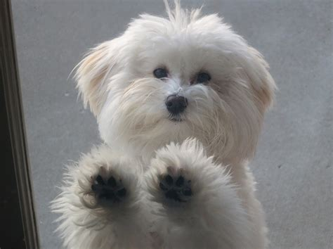 so havanese 359 best images about havanese puppies on best dogs coton de tulear and