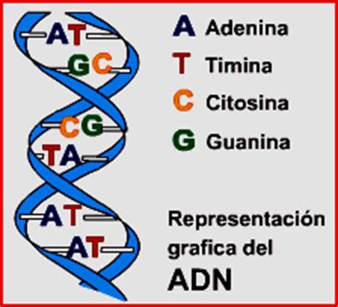 numero de cadenas del adn biologia