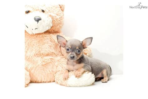 blue teacup chihuahua puppies for sale chihuahua breeder akc chihuahua puppies for sale teacup chihuahua breeds picture