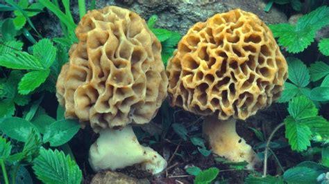 wann pilze suchen steinpilze z 252 chten re steinpilze z chten pic steinpilze