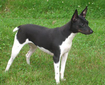 Sale Decker Dekker Fox Mini Size fox terrier puppies breeders facts pictures