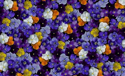 flower colors pansy wallpapers pictures images