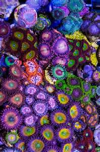 Aquascape Plants List The Crazy Colorful World Of Zoanthids Soft Coral See