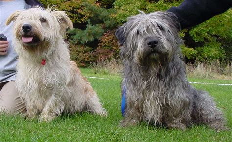 glen of imaal terrier puppies glen of imaal terrier puppies rescue pictures information temperament