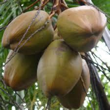 Jual Batok Kelapa Muda toko hasil bumi gorontalo jual kelapa