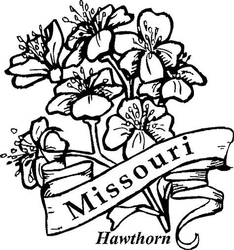 State Flower Coloring Pages missouri state flower hawthorn
