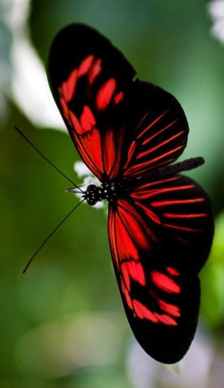 red and black butterflies 2545 best animaux images on pinterest fish marine life