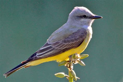 dallas trinity trails scissor tailed flycatchers and