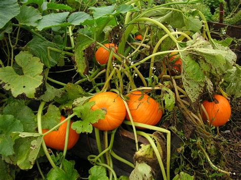 when do i plant pumpkins for the pumpkins are finished growing next week the children