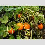 Pumpkins Growing   1600 x 1200 jpeg 402kB