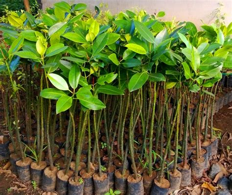 Bibit Mangrove jual bibit mangrove di parigi moutong jual bibit tanaman