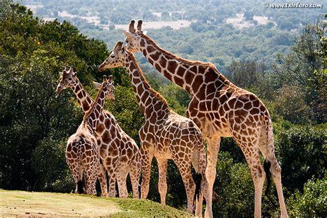 imagenes de jirafas salvajes la jirafa gallery