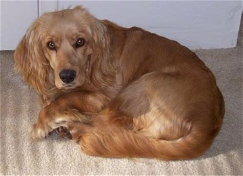 golden retriever and cocker spaniel golden cocker retriever breed information and pictures