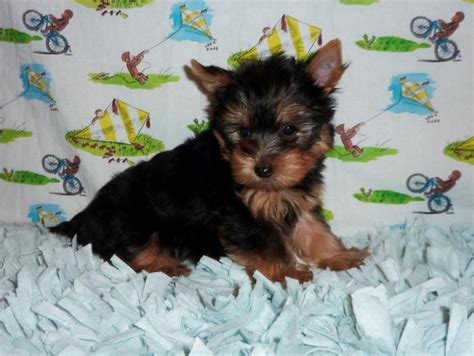 teacup yorkies for sale in charleston sc adults for sale