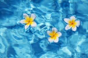 Home Plans With Pool Tropical Frangipani Flower Floating In Blue Water Stock