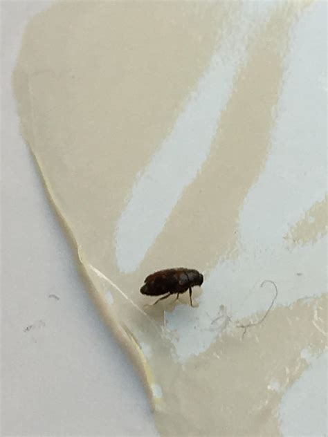 where are bed bugs found help id bug found in room a beetle 171 got bed bugs