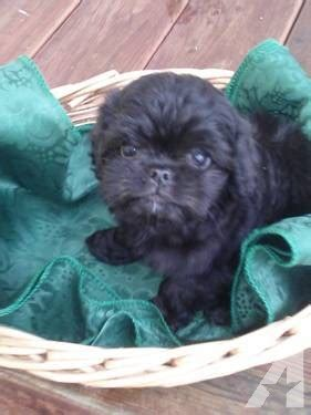 shiranian puppies for sale micro tiny shiranian puppies for sale in mercer island washington classified