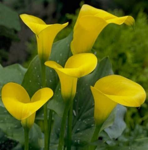 Pupuk Untuk Bunga Lili cara menanam bunga calla bibitbunga