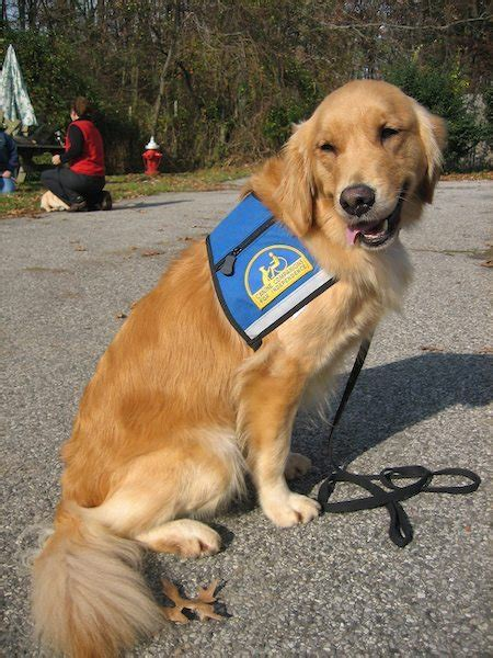 golden retriever service dogs the golden retriever dogs daily puppy