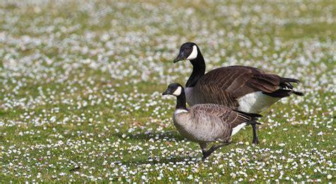 backyard geese 100 backyard geese feathers u0027n paws puppies