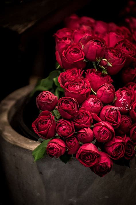 flower expert red and pink roses image badandsweetman buongiorno good morning tumblr flower