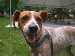 Red heeler boxer mix meet the pooches an introduction to the dogs of