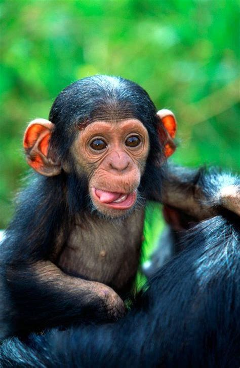 Baby chimpanzee awww just cute pinterest