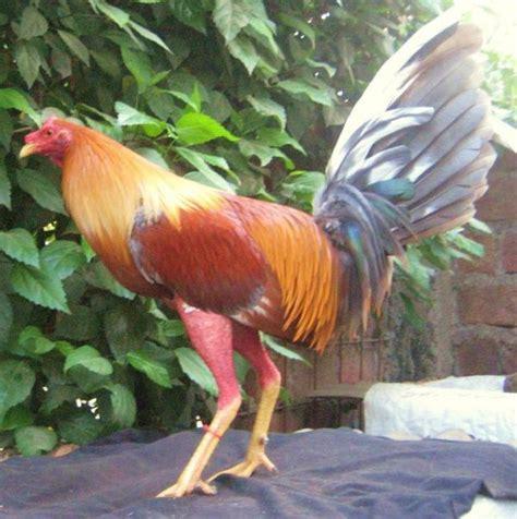 fotos de gallos de peleas en puertorico gallos dominicanos importados gallos sampierdarena