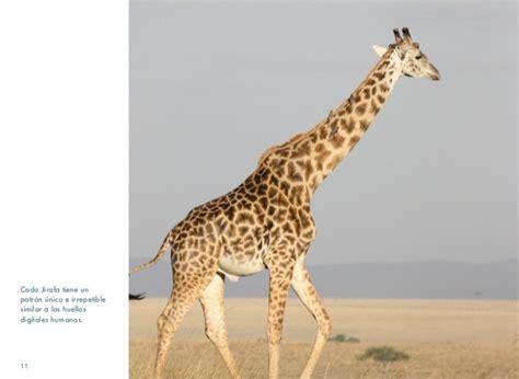 imagenes reales de jirafas jirafas