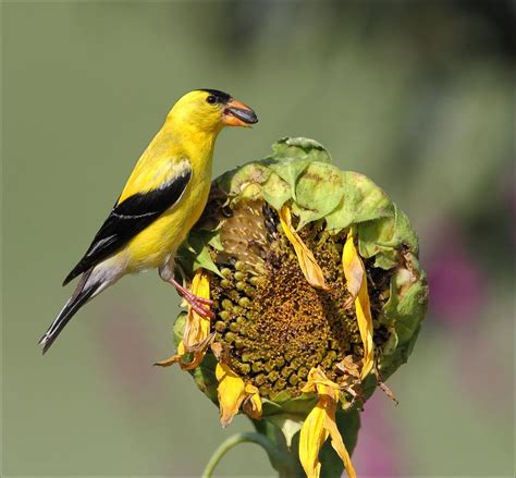 american goldfinch on sunflower photograph by daniel behm