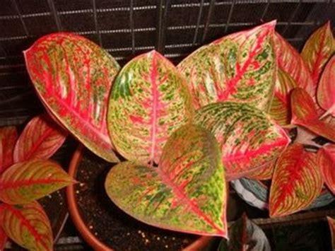 Jual Bibit Rumput Jepang Bandung harga tanaman hias bekasi tanamanbaru